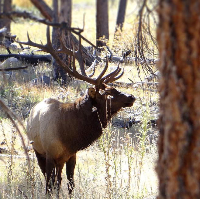 Colorado bull elk