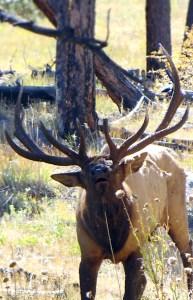 Colorado bull elk bugling