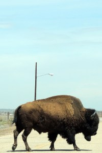 RMANWR buffalo in road by Wayne D. Lewis