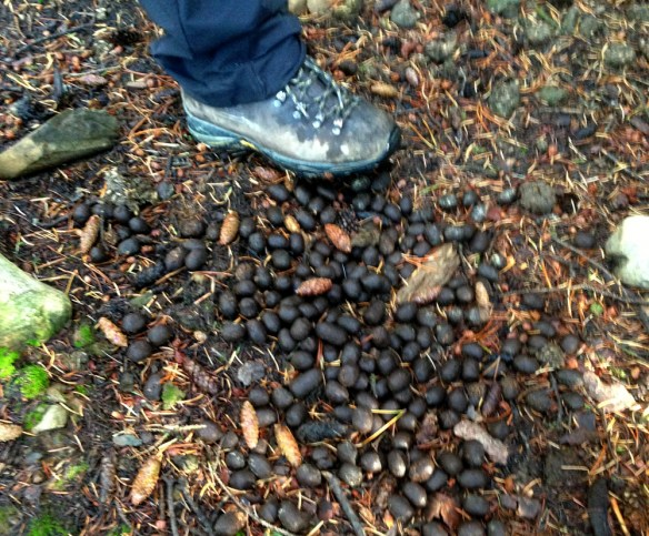 Moose droppings cover the ground -- a sure sign of recent activity.