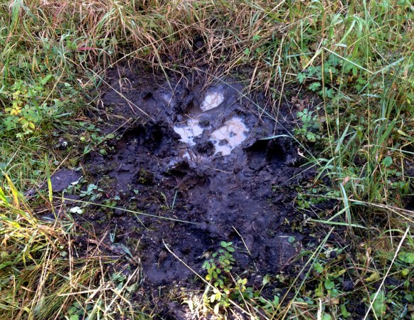 Hunters should look for wallow pits made by bull moose during the rut. Bulls urinate and roll in these areas, covering their coat in a thick, muddy scent to attract cows.