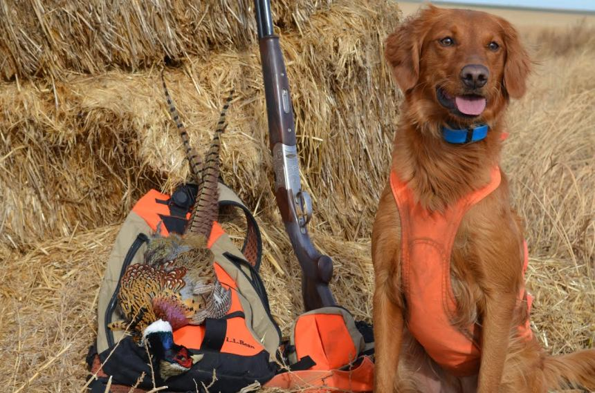 A golden retreiver poses with pheasants. Photo by Tony Dymek/CPW.