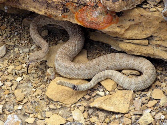 A Western rattlesnake, also known as the midget-faded rattlesnake, is found along the Colorado/Utah border.
