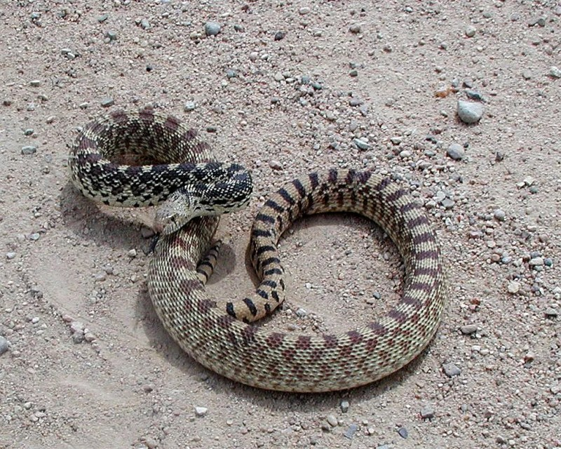 A bullsnake coils to defend itself.