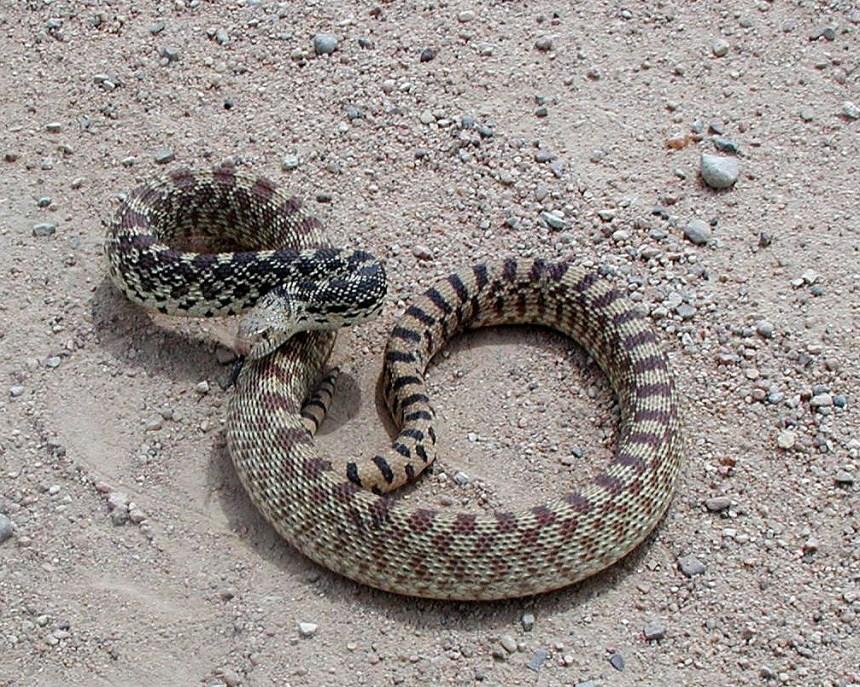 A bullsnake coils to defend itself.