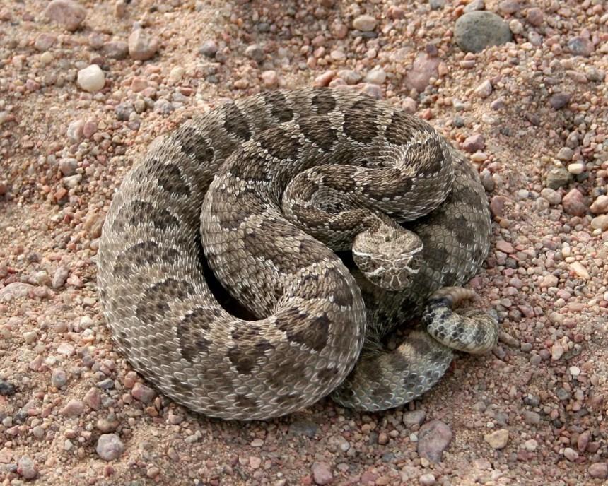 A prairie rattlesnake in Morgan County