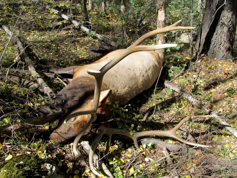 A downed bull elk. Photo by David Lien.
