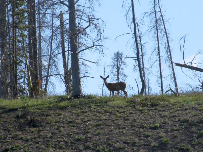 A mule deer. Photo by © David Lien.
