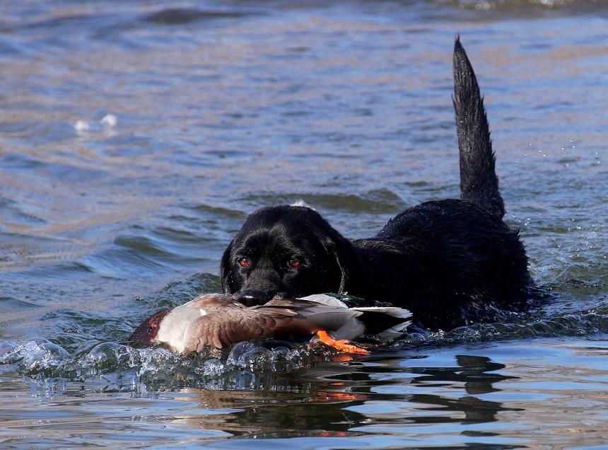 A Lab retrieves a mallard duck