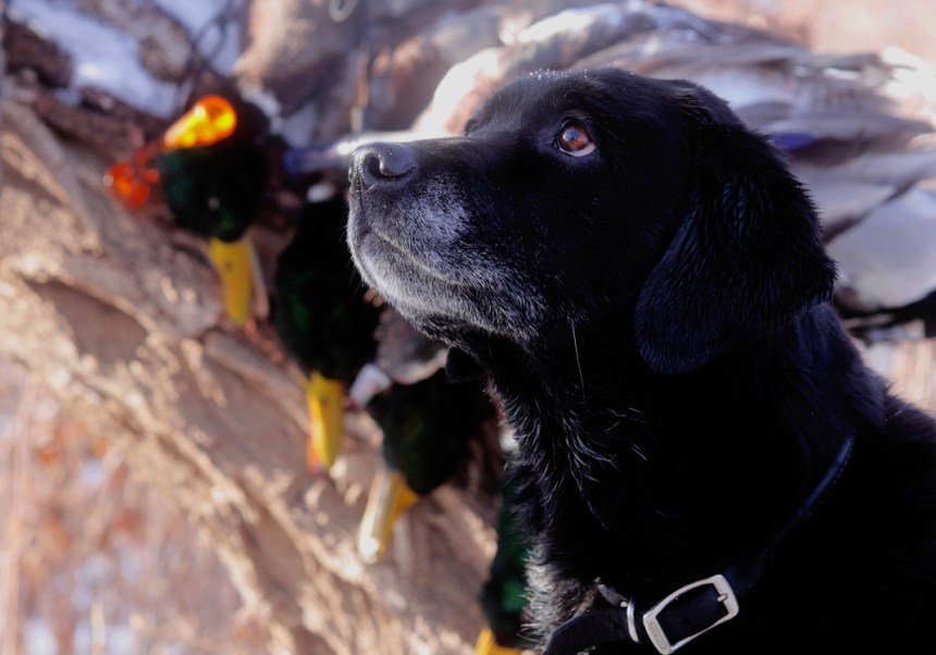 A Labrador poses with a limit of mallards.