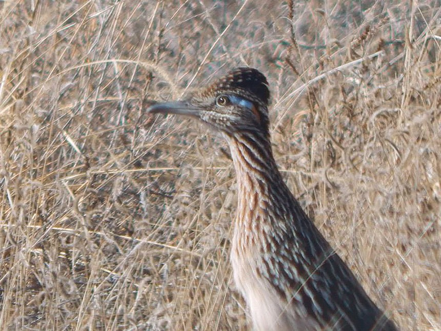 A roadrunner in southeast Colorado. Photo by Brian Marsh/CPW.