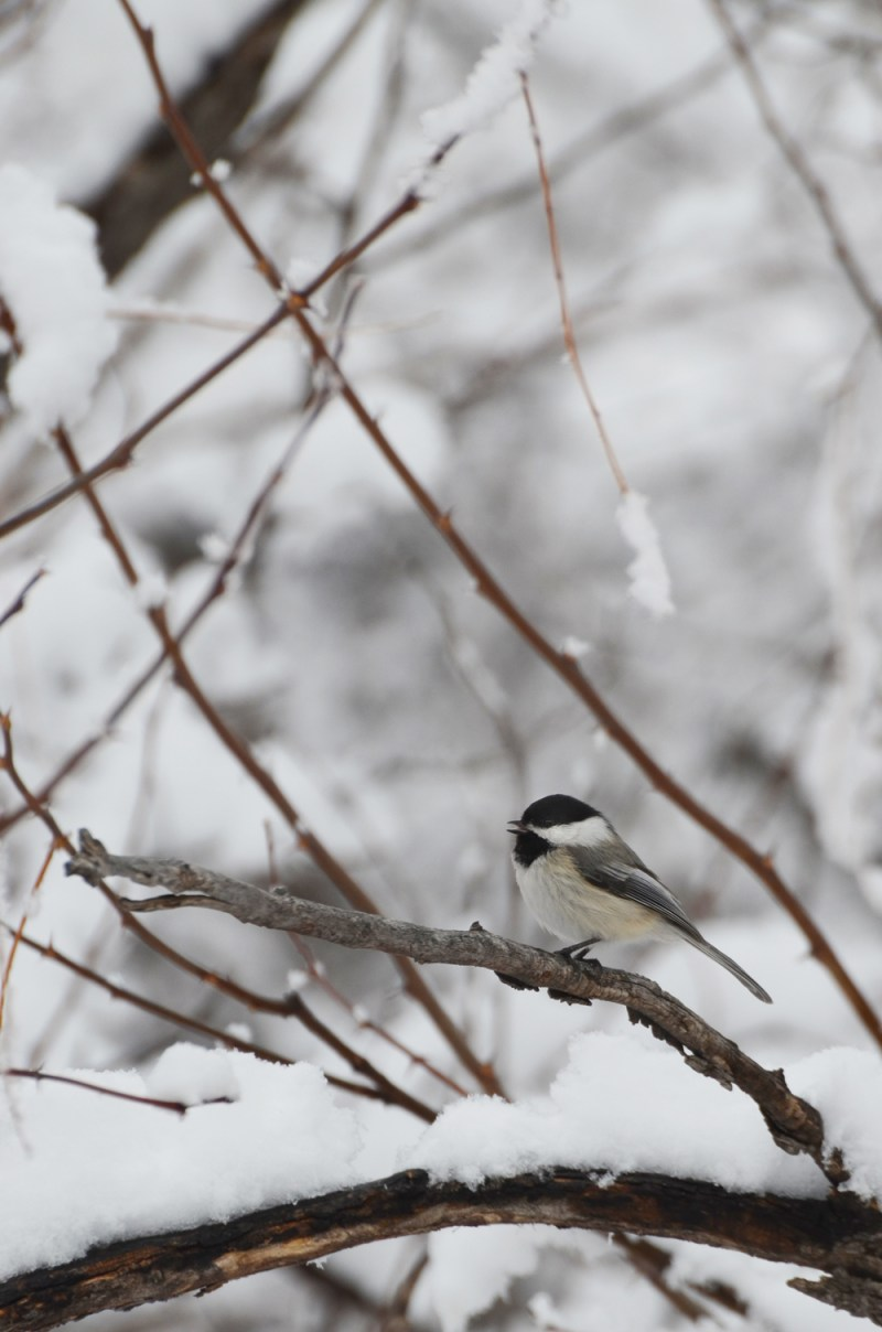 Chickadee. Photo by ©Wayne D. Lewis/CPW.