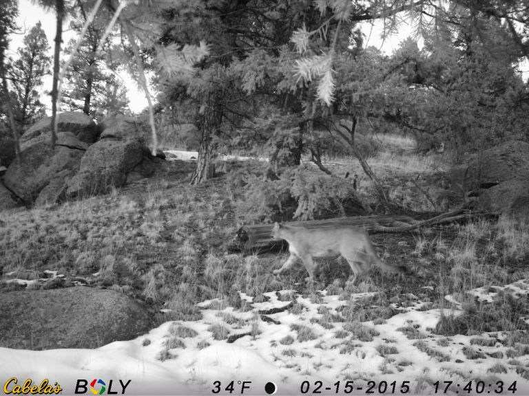 Mountain lion in Teller County. Photo by Adam Pisoni.
