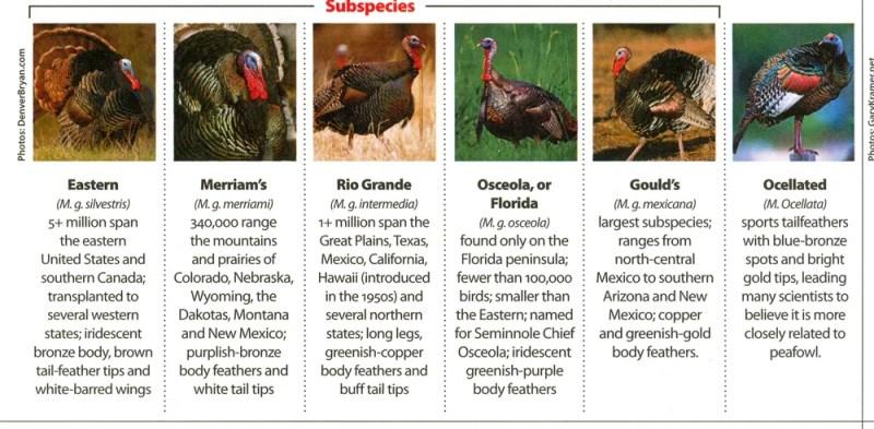 Turkey Subspecies