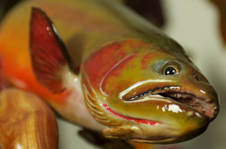 reproduction cutthroat trout