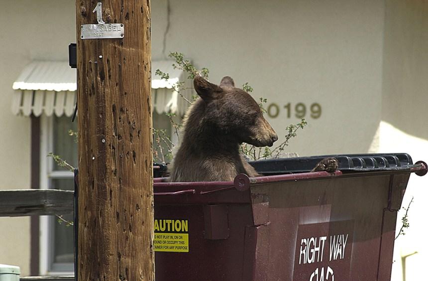 bear in dumpster for blog