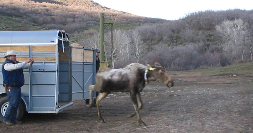 moose tailer