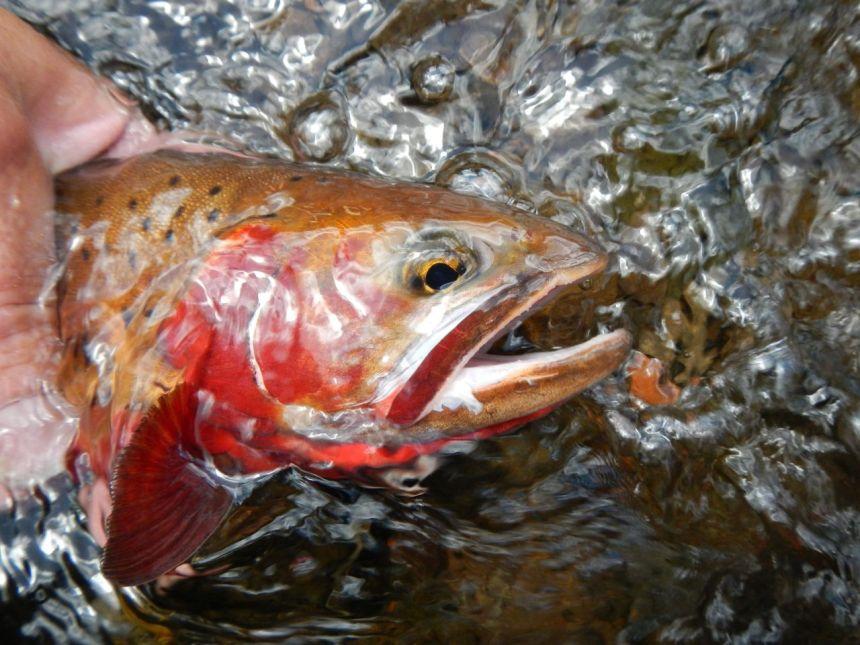 native cutthroat trout