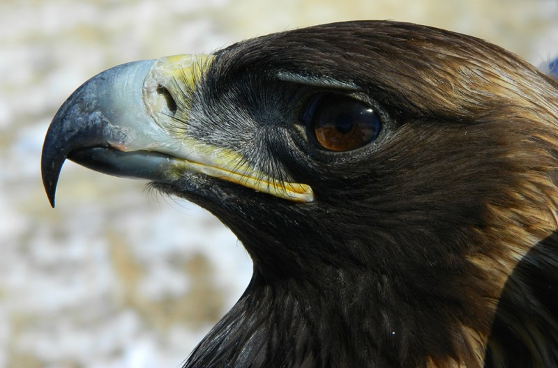 adult-male-goea_trapped-at-gardner-butte-20150218-41