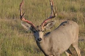 buck-shedding-velvet-Wayne-D-Lewis-DSC_0132