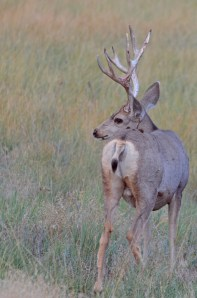 MD-Buck-shedding-velvet-Wayne-D-Lewis-DSC_1656
