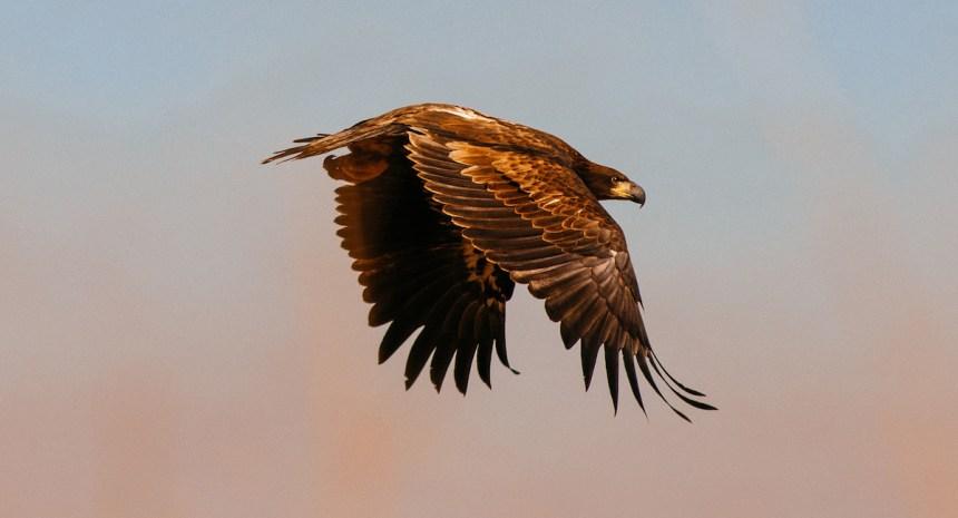 immature-bald-eagle-delliveneri-5