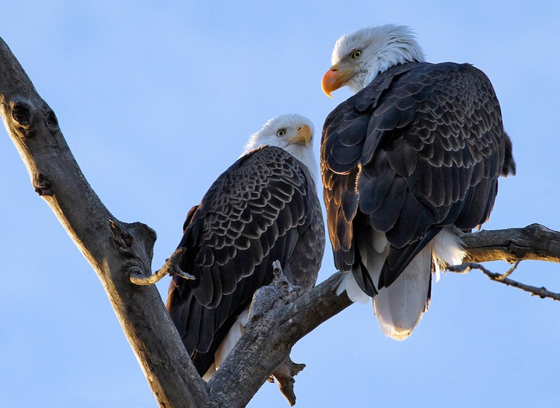Bald Eagles at Lake Pueblo State Park