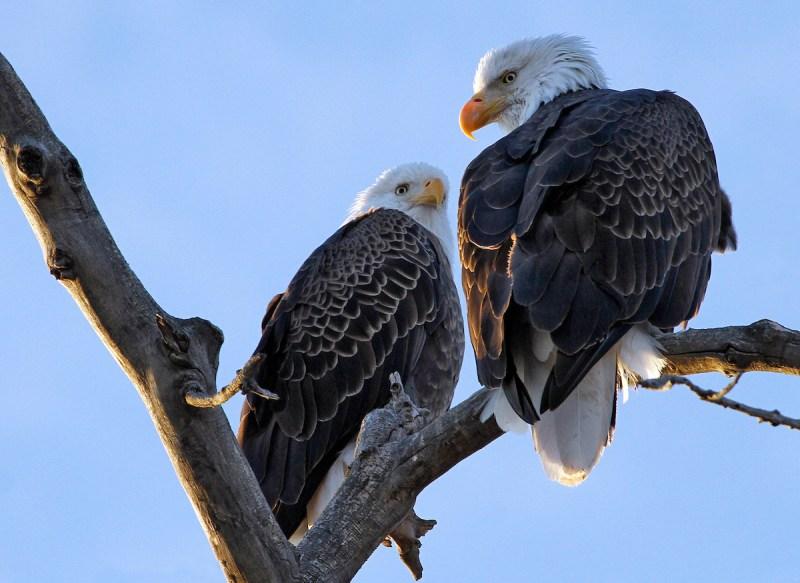 Bald Eagles at Lake Pueblo State Park