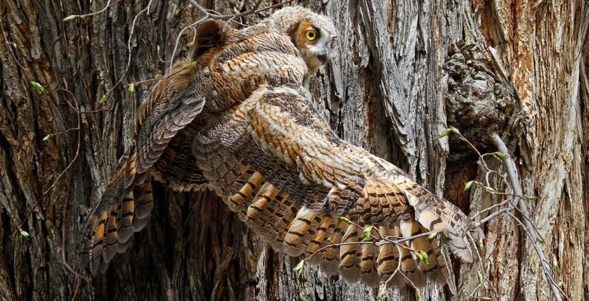 schendel-owl