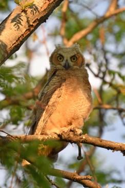 crop-GH-owl-chick-Wayne-D-Lewis-DSC_0431