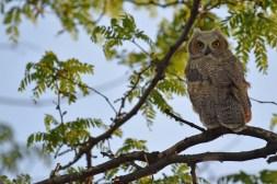 GH-owl-chick-Wayne-D-Lewis-DSC_0459