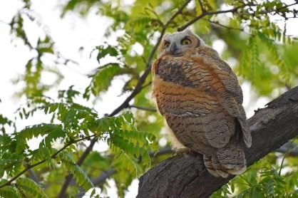 GH-owl-chick-Wayne-D-Lewis-DSC_0487