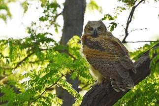 GH-owl-chicks-Wayne-D-Lewis-DSC_0291