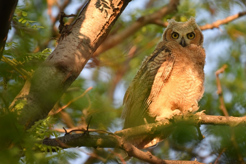 GH-owl-chicks-Wayne-D-Lewis-DSC_0410
