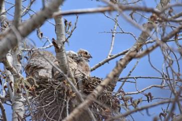 GH-owl-nest-Wayne-D-Lewis-DSC_0090