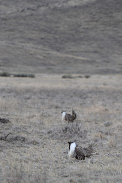 greater-sage-grouse-Wayne-D-Lewis-DSC_0209
