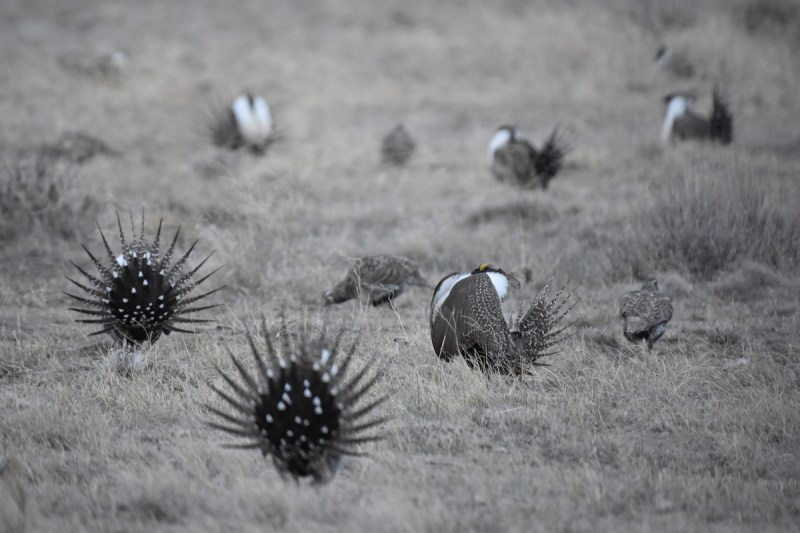greater-sage-grouse-Wayne-D-Lewis-DSC_0989