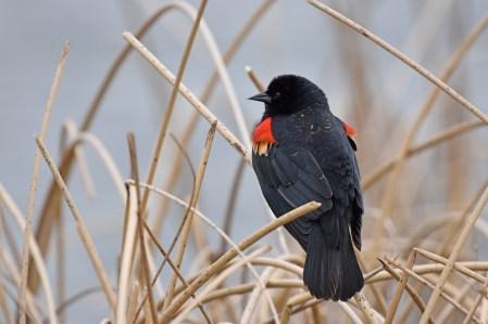 red-winged-blackbird-Wayne-D-Lewis-DSC_0602