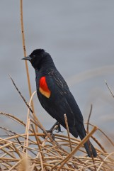 red-winged-blackbird-Wayne-D-Lewis-DSC_0603