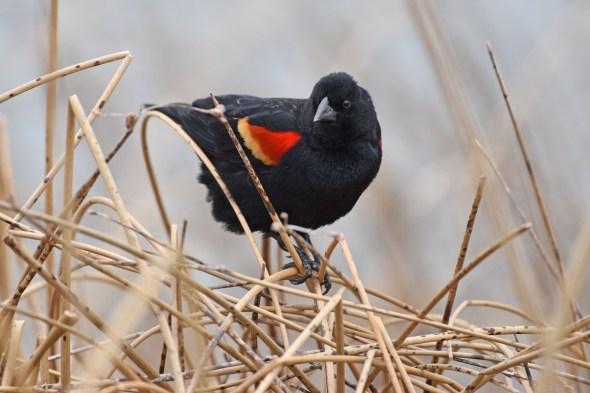 red-winged-blackbird-Wayne-D-Lewis-DSC_0620