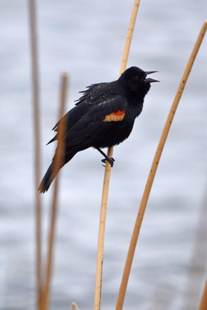redwinged-blackbird-Wayne-D-Lewis-DSC_0657