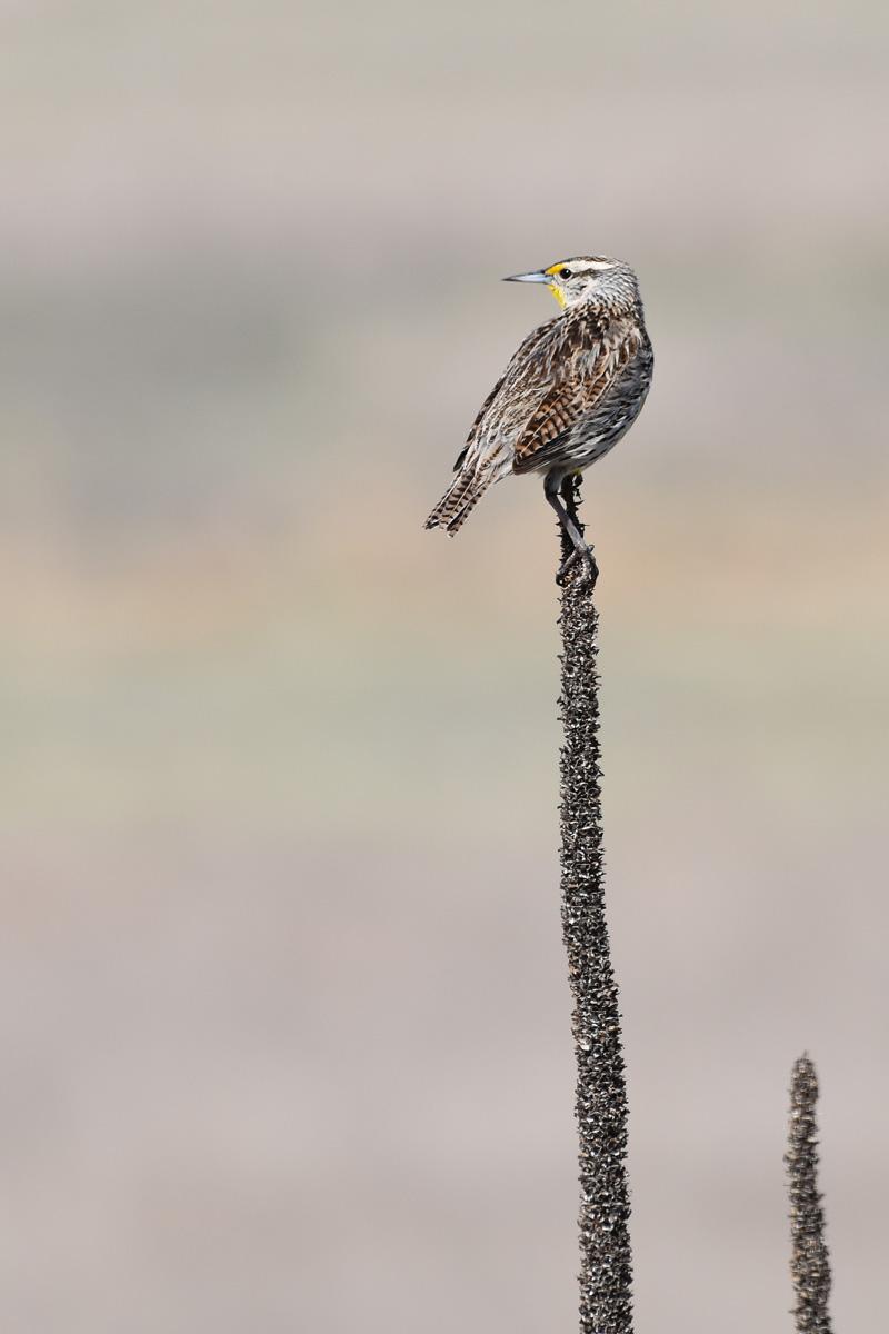western-meadowlark-Wayne-D-Lewis-DSC_0052