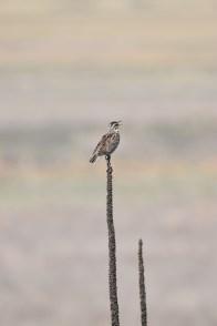 western-meadowlark-Wayne-D-Lewis-DSC_0055