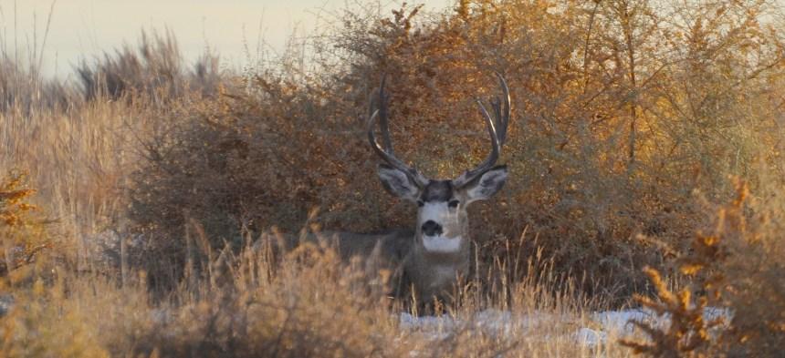Buck in brush.