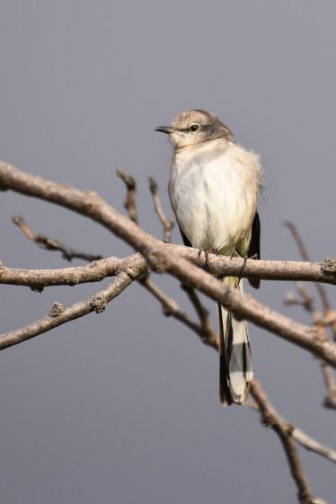 mockingbird-Wayne-D-Lewis-DSC_0609