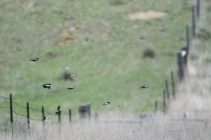 lark-bunting-Wayne-D-Lewis-DSC_0086