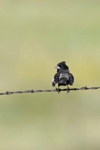 lark-bunting-Wayne-D-Lewis-DSC_0795