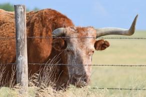 steer-DSC_0834