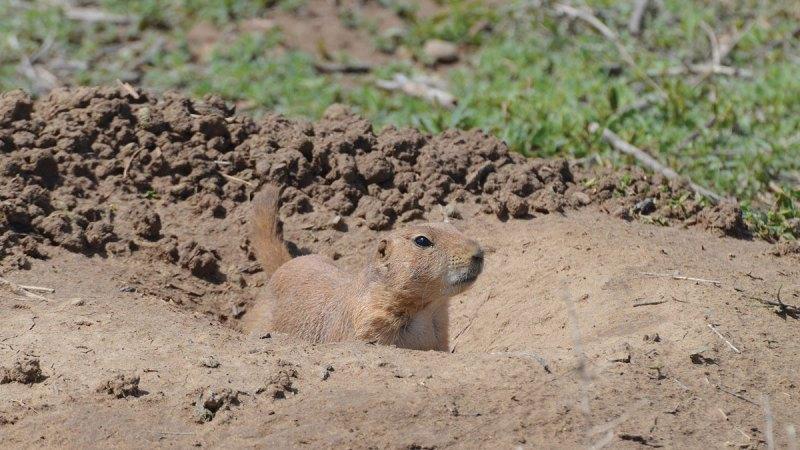 Black-tailed-prairie-dog-Wayne-D-Lewis-DSC_1316.jpg