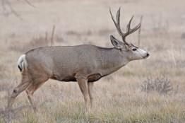 mule-deer-buck-Wayne-D-Lewis-DSC_0237